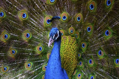 bird-pet-peacock-animal-nature-domestic-adorable-1